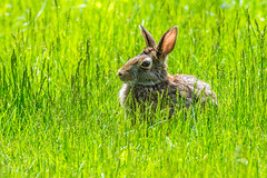 Rabbit (fotofrysk) Tags: toronto ontario canada rabbit bunny grass ears backlit nikond7100 1605184773