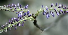 la glicina de Susi --- Susis wisteria (Roger S 09) Tags: asturias wisteria santaeulalia glicina cabranes santolaya