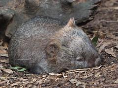 Wombat Sleeping (Vas Smilevski) Tags: animals australia olympus nsw captive featherdalewildlifepark marsupials wombat omd australianwildlife em1 m43 vombatidae getolympus olympusau olympusomdem1 olympusinspired mzuiko40150mmf28pro