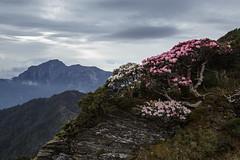 _IMG_9428 (Len) Tags: mountain flower taiwan  hy 6d  nantou    mthehuan    ef1635mmf28liiusm  1635lii    hehuaneastpeak    hehuanepeaktrail