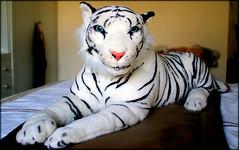 Terry (* RICHARD M) Tags: fun toys dolls blueeyes tiger humour bigcat cuddly whitetiger cuddlytoy oleblueeyes tigerdoll secondchildhood toytiger blueeyedtiger terrythetiger pensionerspet