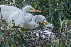 Im Hungry Feeding Time (MelRoseJ) Tags: california nature birds unitedstates sony alpha santarosa autofocus sonyalpha sal70400g a77ii sonyilca77m2
