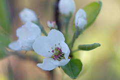 Pear Blossoms (CCphotoworks) Tags: white nature outdoors bokeh blossoms pearblossoms springflowers peartree sprin springblossoms floweringtrees springblooms whiteblooms peartreeflowers whitepearblossoms