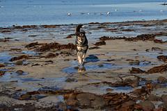 25april_gardskagaviti_067 (Stefn H. Kristinsson) Tags: dog playing beach spring sand venus april hundur clearsky strnd 2016 tamron2875 garskagaviti nikond800