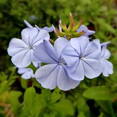 Plumbago auriculata (Linda DV) Tags: travel flower square geotagged flora flor panasonic tenerife canaryislands plumbago plumbaginaceae islascanarias 2016 caryophyllales geomapped lindadevolder