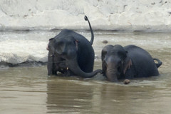 Two young Elephants in the Mekong River, Pak Beng, Laos (cocoi_m) Tags: playing elephant nature young bathing laos mekongriver pakbeng
