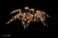 Chaco Golden Knee Tarantula D75_3062.jpg (Mobile Lynn) Tags: england nature fauna spider unitedkingdom spiders wildlife ngc npc tarantula captive bournemouth arachnida watermarked coth greatphotographers specanimal chacogoldenkneetarantula coth5 grammostolapulchripes sunrays5