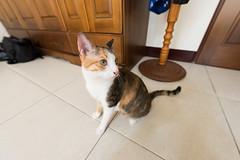 20150405-DSC_2703 (Noelas) Tags: pet cat ed momo nikon 04 g 05 taiwan mo nikkor dslr      yunlin 2015  1424 d810  nikond810 1424mm 142428 nikonnafsnikkor1424mmf28ged