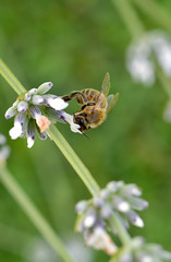 Bee (Kalusija) Tags: summer flower green nature animal spring outdoor sommer natur lavender bee honey blume makro insekt tier biene frhling lavendel honig lavandula