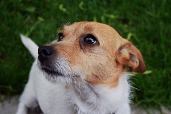 Will you be my friend? (peruvain3) Tags: dog terrier milwaukee jackrussell ilovedogs