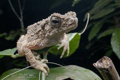 Phrynoidis aspera_MG_1909 copy (Kurt (OrionHerpAdventure.com)) Tags: amphibian toad tropicalfrogs rivertoad phrynoidisaspera frogsofmalaysia