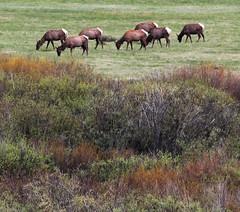 ttn-14 (srosscoe) Tags: wildlife deer tetons grandtetonnationalpark jacksonlakelodge keepwildlifewild
