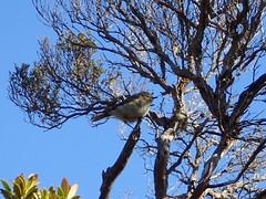 LBB on Summit Track (dracophylla) Tags: newzealand codfishisland whenauhoa