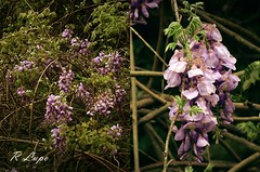 Wisteria drapery (R.F. Lupo (random off and on-ness, more off)) Tags: wild green beautiful beauty spring vines purple south vine southern wildflowers graceful wisteria scent blooming draping perfumed shadesofpurple