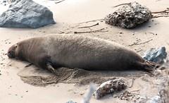 Elephant Seal (Prayitno / Thank you for (11 millions +) views) Tags: california ca sea wild san outdoor lion seal wildanimal blancas simeon piedras elephan konomark