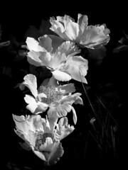 B&W flowers (CTfoto2013) Tags: light shadow blackandwhite bw stilllife white plant black flower macro blancoynegro blanco nature fleur monochrome closeup lumix noir shadows dof noiretblanc blossom nb bn ombre pistil depthoffield panasonic lumiere serene blanc grosplan fondnoir petales gx7 micro43 mirrorlesscamera