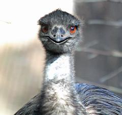 Emu (iansand) Tags: zoo emu tarongazoo
