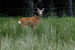 Roe Deer (Ally.Kemp) Tags: wild female scotland highlands wildlife scottish deer roe invernessshire