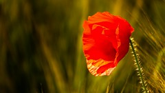 La vie clair- obscur (Yasmine Hens) Tags: rouge europa flickr belgium sony ngc poppy vie coquelicot namur hens yasmine wallonie clairobscur iamflickr flickrunitedaward hensyasmine sonydscrx10m3