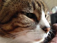 trop belle (alexandrarougeron) Tags: lili poupouce chat chatte cat poli oeil moustache beaut belle beau magnifique excellent rebelle douce bisous clin canaille paris lige montmartre douceur gentille jolie poil fourrure minou