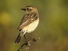 Grey-necked Bunting-RR0874 (Ravi Prabhune) Tags: india farm bunting smallbird beautifulbird greyneckedbunting