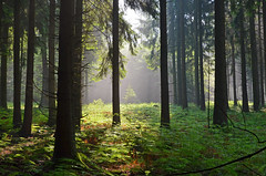 DSC_2458 Ein traumhafter Morgen im Mrchenwald - A dreamlike morning in the fairy forest (baerli08ww) Tags: mist tree forest germany deutschland nebel wald baum morningsun rheinlandpfalz morgensonne westerwald rhinelandpalatinate westerforest