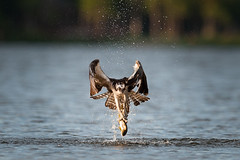 Osprey - Evening Meal (agmcinnis) Tags: sunset lake fish birds newfoundland virginia labrador flight osprey bif