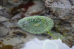 Colour in the Tidal Pool (Neal D) Tags: bc shirley creature seaanemone