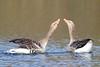 Grauwe ganzen, Anser anser, Greylag Goose (peterbeek) Tags: birds anseranser greylaggoose watervogels grauweganzen
