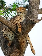 Split personality or mistaken identity? (John Kok) Tags: ngc cheetah kwazulunatal phinda acinonyxjubatus rocklodge nikkor40028vr