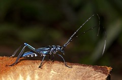 Aglaoschema sp?? (Caranpaima) Tags: blue colombia beetle bahia longhorn escarabajo solano choco cerambycidae cucarron biogeografico