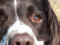 Indi (Shooting Star <3) Tags: portrait dog english spring spaniel springer indi