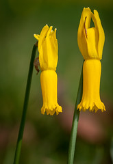 Minature daffs? (Narcissus Cyclamineus) (jerry_lake) Tags: iso250 savillgardens aperturef8 nikond300 lightroom4 tokinamacro100f28