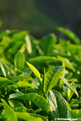 Tea Leaf (2121studio) Tags: nature nikon ali malaysia indah cameronhighlands kuantan alam malaysianphotographer drali bohtea sgpalasteaplantation 2121studio kuantanphotographer pahangphotographer ciptaanallahswt 0139342121 nubleebinshamsubahar
