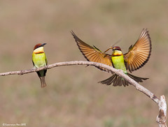 Chestnut-headed Bee-eater (Merops leschenaulti) @ Khao Yai National Park, Thailand_20120312_0651 (LawrenceNeo) Tags: chestnutheadedbeeeater
