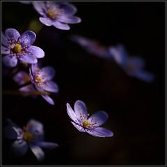 (Ana Lukascuk) Tags: fantasticflower asquaresuperstarstemple ftsapril feedthesoulapril
