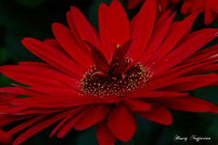 A garden within (Houry Photography -on/off) Tags: red macro gardens pa gerbera longwood