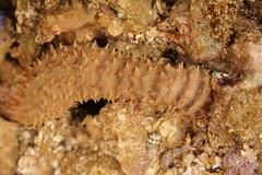 spiky sea slug (cucumber) (Journey of A Thousand Miles) Tags: hawaii kauai tidepool 2012 poipubeachpark