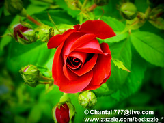 A Single Red Rose - Floral Fine Art Photography (Chantal PhotoPix) Tags: flowers red roses summer flower macro nature floral beautiful rose gardens closeup garden season outdoors daylight petals flora colorful soft pretty vibrant seasonal redrose petal bloom dreamy pollen blooms elegant botany rosepetals luminous redflower rosebush redroses redflowers flowerpetals flowergarden summerflower flowergardens summerflowers flowerpetal redblooms floralphotography singleredrose floraphotography redbloom