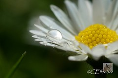 Gnseblmchen im Regen / daisy at rain (6) (Ellenore56) Tags: light white inspiration color colour detail macro reflection floral rain diamonds botanical licht photo flora focus foto blossom magic perspective drop diamond daisy bloom raindrops vista droplet imagination outlook moment sparkler makro blte magical farbe reflexion rainfall regen raindrop perspektive reflektion tropfen bellis gnseblmchen tausendschn dud diamant augenblick fokus florescence gowan regenwetter botanik regentropfen bellisperennis weis trpfchen rainyweather faszination diamanten gnseblume pquerette commondaisy raininess   lawndaisy sonydslra350 masliebchen regenblume mondscheinblume augenblmchen morgenblume ellenore56 13042012