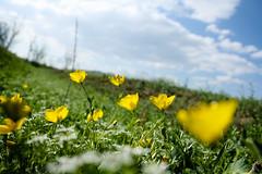 IMG_4786 (س ی ن ا) Tags: flower iran s و بهار khorasan پهلوان irani سبز گل ها زرد سینا 1391 سبزه dargaz درگز چمن بهاری kheirabad