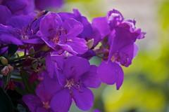 Purple (Deb Jones1) Tags: flowers flower nature beauty canon garden botanical outdoors flora purple blooms flickrawards debjones1