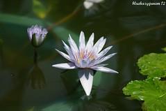 Water Lily ~ Mrs. Edward Whittkar ~ (bluehazyjunem) Tags: flower water lily center edward april mrs 2012 oofuna whittakar