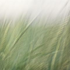 Waving, swaying, growing lithely (pixiespark) Tags: motion macro texture nature cornfield wind bokeh natur bewegung icm weizenfeld intentionalcameramovement pixiespark wavingswayinggrowinglithely