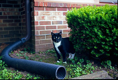 Tuxedo Cat (A.D. Isaac) Tags: pets plant tree animal animals cat mediumformat bush bricks pipe rangefinder suit tuxedo tuxedocat tux ektar blackandwhitecat fujigw690 ektar100