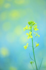 While You Are Asleep (*Sakura*) Tags: blue flower green nature yellow japan tokyo spring  mustard sakura    rapeblossoms