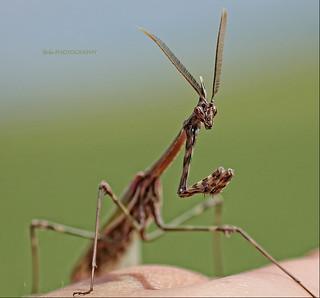 La mantis de Dueñas...