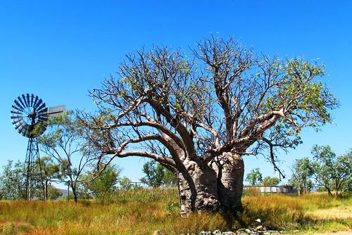 Boab Tree Windmill