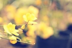Hello Yellow (MPhotography.) Tags: flower 50mm bokeh canon450d beyondbokeh