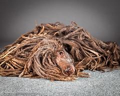 Carli Davidson Pet Photography (MorganaG.!) Tags: usa dog pet portland photography or cachorro animais carli puli petphotography petphotographer carlidavidson